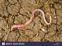 common earthworm stock photos u0026 common earthworm stock images alamy