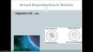 asexual and meiosis blendspace lessons tes teach