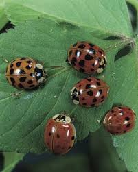 How To Find Ladybugs In Your Backyard Attracting Beneficial Insects Fine Gardening