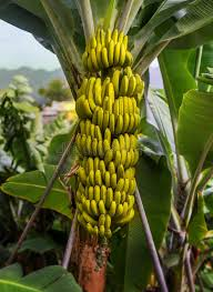 bananas on tree banana tree with a bunch of bananas stock photo image of fyffes