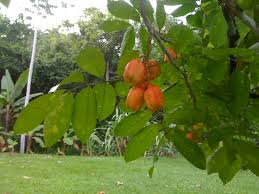 Ackee Fruit Tree - ackee the belize files