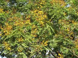 Yellow Flowering Trees - hallucinations march 2012