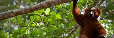 bentley orangutan keeping lemurs as pets is driving madagascar u0027s iconic primates