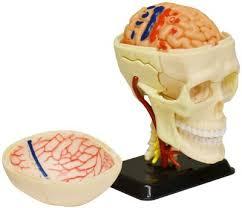 Image Of Brain Anatomy Edu Sk010 3d Brain Anatomy Model Kit With Interactive Cd By Tree