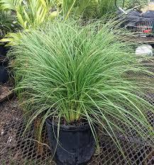 native plant nursery fort myers locate u0026 find wholesale plants plantant com
