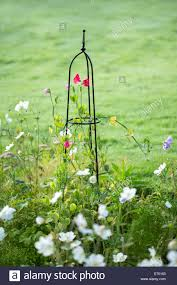 sweet pea flowers climbing up a steel obelisk stock photo royalty