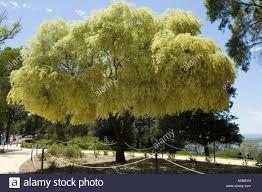 variegated peppermint tree agonis flexuosa habit drooping