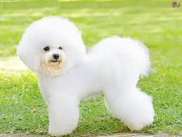 bichon frise 2015 calendar bichon frise dog breed information buying advice photos and