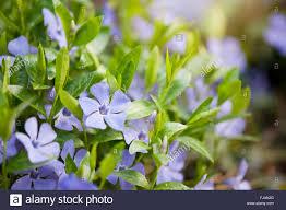 Vinca Flowers Vinca Flowers Macro Apocynaceae Family Periwinkle Or Myrtle