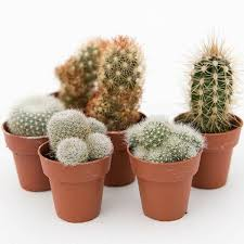buy cactus collection cactus collection delivery by waitrose