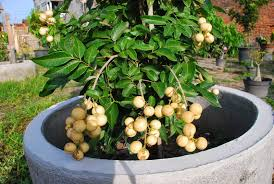 growing a longan fruit tree in a pot