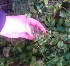 my backyard weeds u2013 henbit