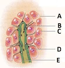 Human Anatomy Exam Questions Ch 17 Lymphatic System Practice Questions Proprofs Quiz