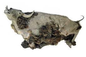 9 000 bison mummy frozen extinct fossils
