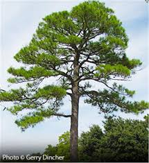 buy affordable loblolly pine trees at our nursery