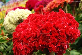 coxcomb flower cockscomb flower varieties