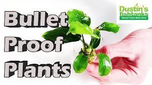 Plants That Don T Need Light Planted Aquarium Plants Bullet Proof Plants Aquarium Plants For