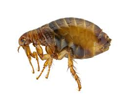 How Long Do Fleas Live In Carpet How To Get Rid Of Fleas Diy Flea Control Products Do My Own