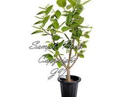fig tree seeds etsy