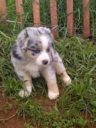 australian shepherd kalamazoo 210 best dogs sierra wants images on pinterest animals dogs
