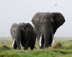Blind Man And Elephant The Blind Men And The Elephants The Trumps And Trophy Hunting