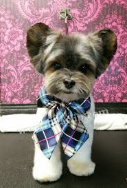 image result for asian style male yorkie grooming dog grooming