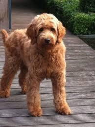 labradoodle hairstyles 10 best labradoodle haircuts images on pinterest labradoodle