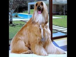 afghan hound breeders europe afghan hound dog breed details of afghan hound dog information
