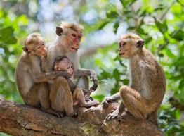 macaque18 jpg