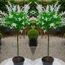 topiary trees of standard topiary trees salix flamingo with large flared