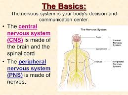 Anatomy And Physiology Nervous System Study Guide The Nervous System Anatomy U0026 Physiology Ode To The Brain Ppt