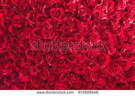 rose bed thumb1 shutterstock com display pic with logo 4334