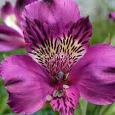 peruvian lilies wholesale peruvian flowers