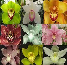cymbidium orchid grow like a pro no 1 cymbidium orchids cymbidium orchids