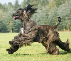 afghan hound tattoo 13 wonderful afghan hound running pictures