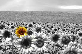 single sun flower wallpapers photo collection white sunflower wallpaper