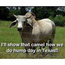 Texas Longhorn Memes - hump day in texas funny meme picture