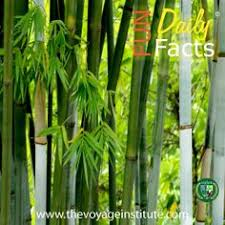 how to grow bamboo along a fence line best growing bamboo
