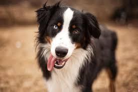 australian shepherd jobs australian shepherd dog breed information