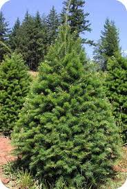 plant evergreen douglas fir and white pine trees