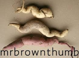 storing sweet potato vine tubers mrbrownthumb