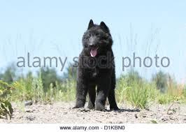 belgian sheepdog groenendael dog belgian shepherd groenendael puppy standing face stock photo