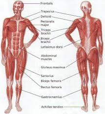 The Human Anatomy Muscles Human Anatomy Muscles Upper Body 125813 004 2acb1107 Human