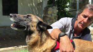 belgian malinois vest brilliant k9 vest one of my favorite products youtube