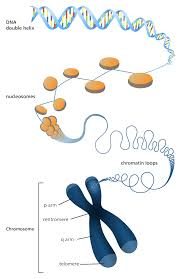 what is a chromosome facts yourgenome org