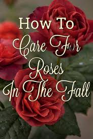 best 25 planting roses ideas on pinterest growing roses roses