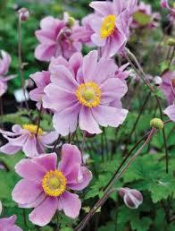 anemone x hybrida u0027serenade u0027 claire austin
