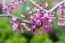 redbud native plant nursery lavender twist redbud monrovia lavender twist redbud