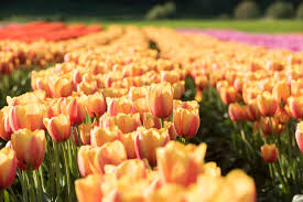 Tulip Festival Map Home U2013 Abbotsford Bloom Tulip Festival 2017
