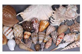 where to buy seashells seashells buy seashells shells gift product on alibaba